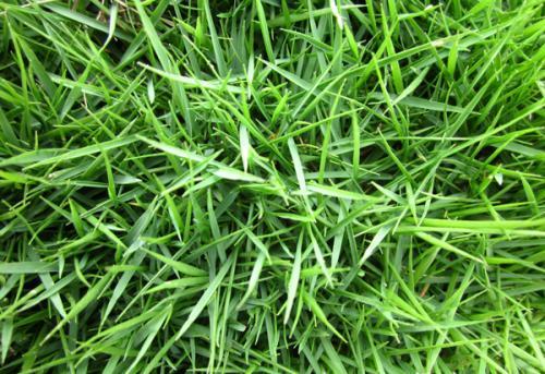Zoysia japonica seed