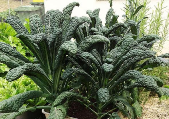 Black Kale seed