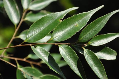 Castanopsis cuspidata seed