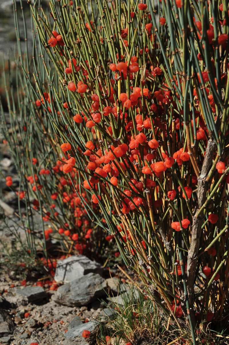 Ephedra fragilis seed