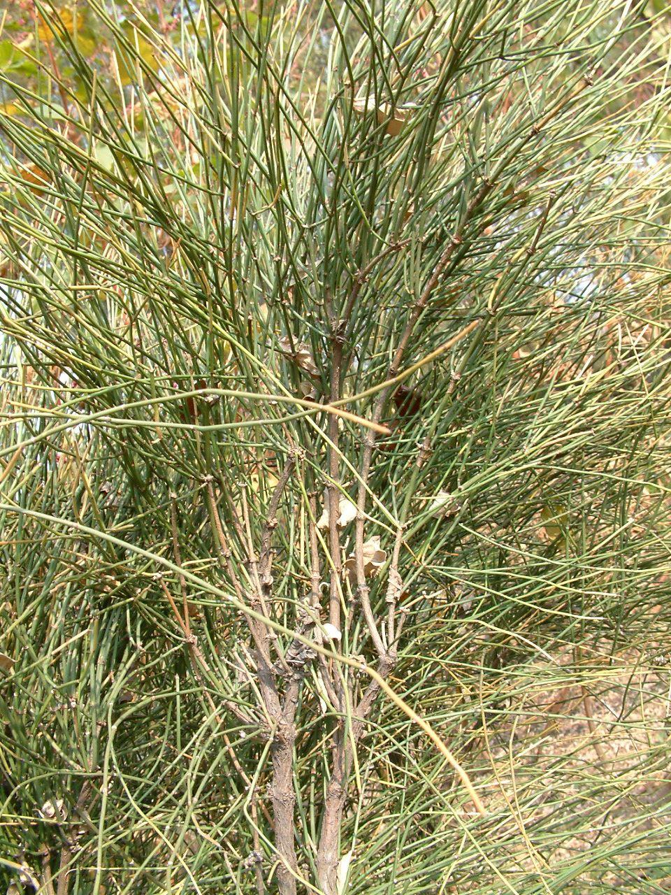Ephedra viridis seed