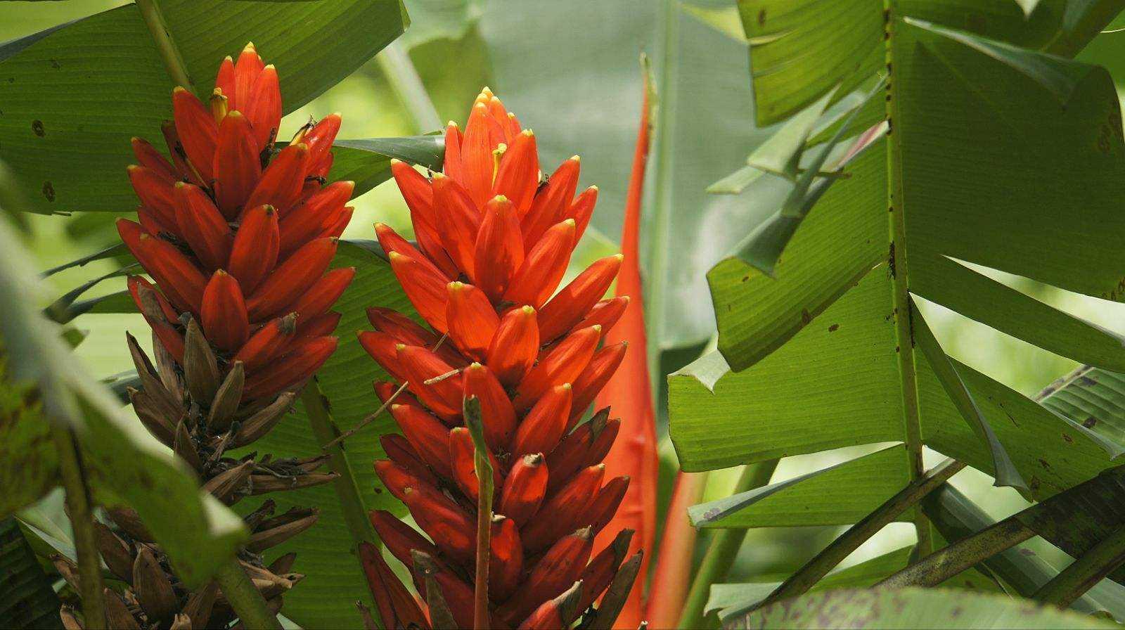Musa coccinea seed