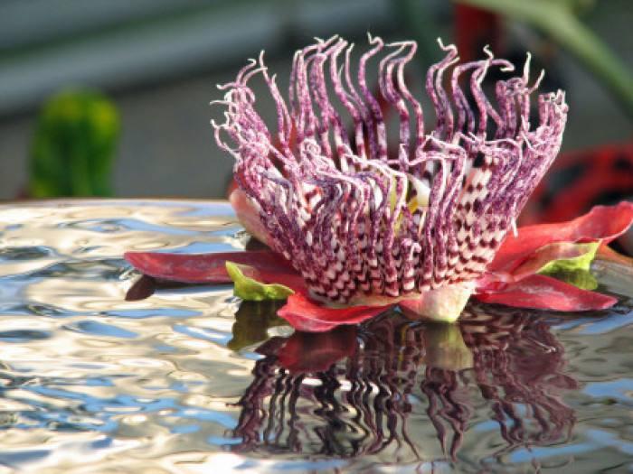 Passiflora alata seed