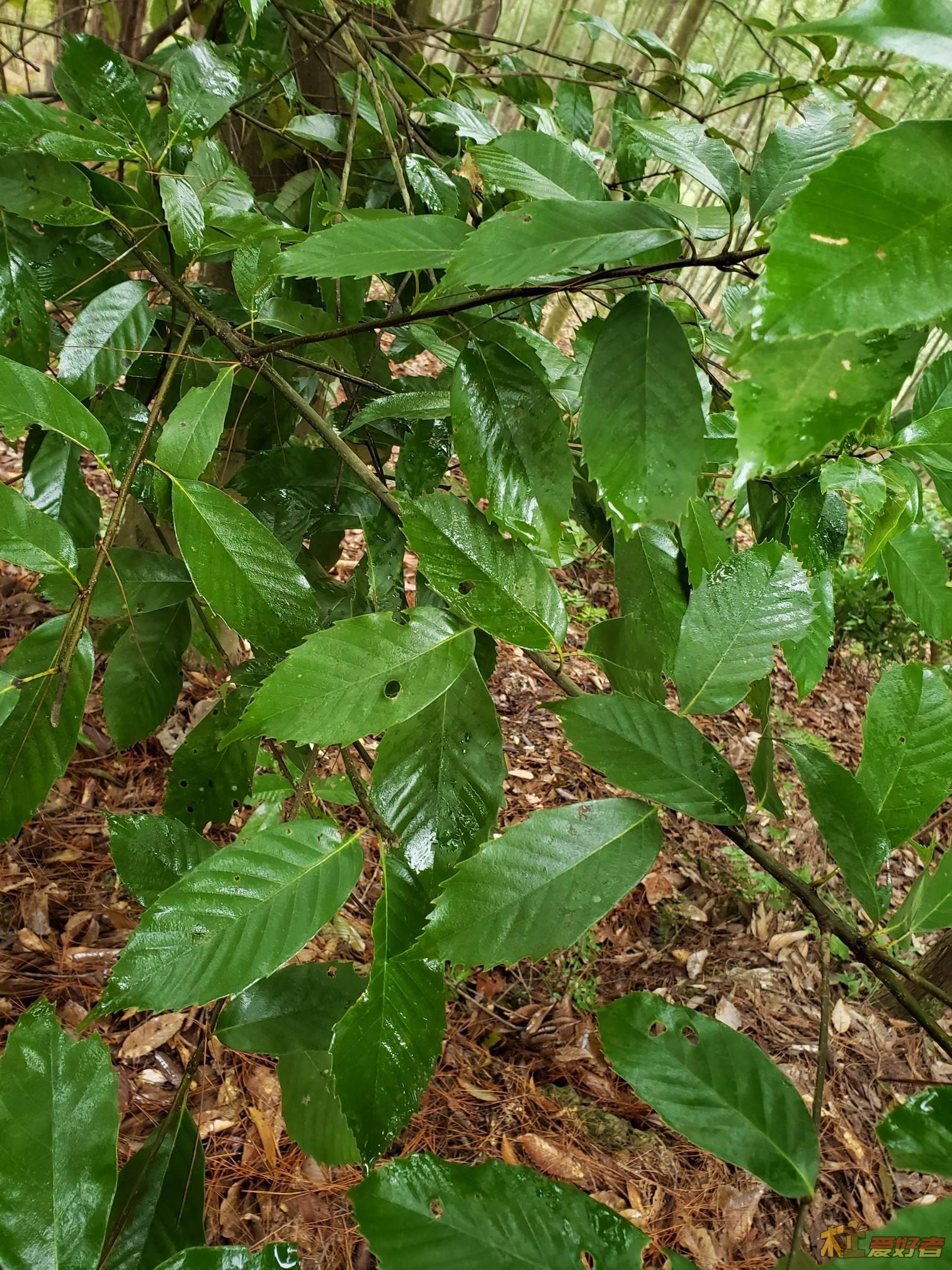 Quercus gilva seed