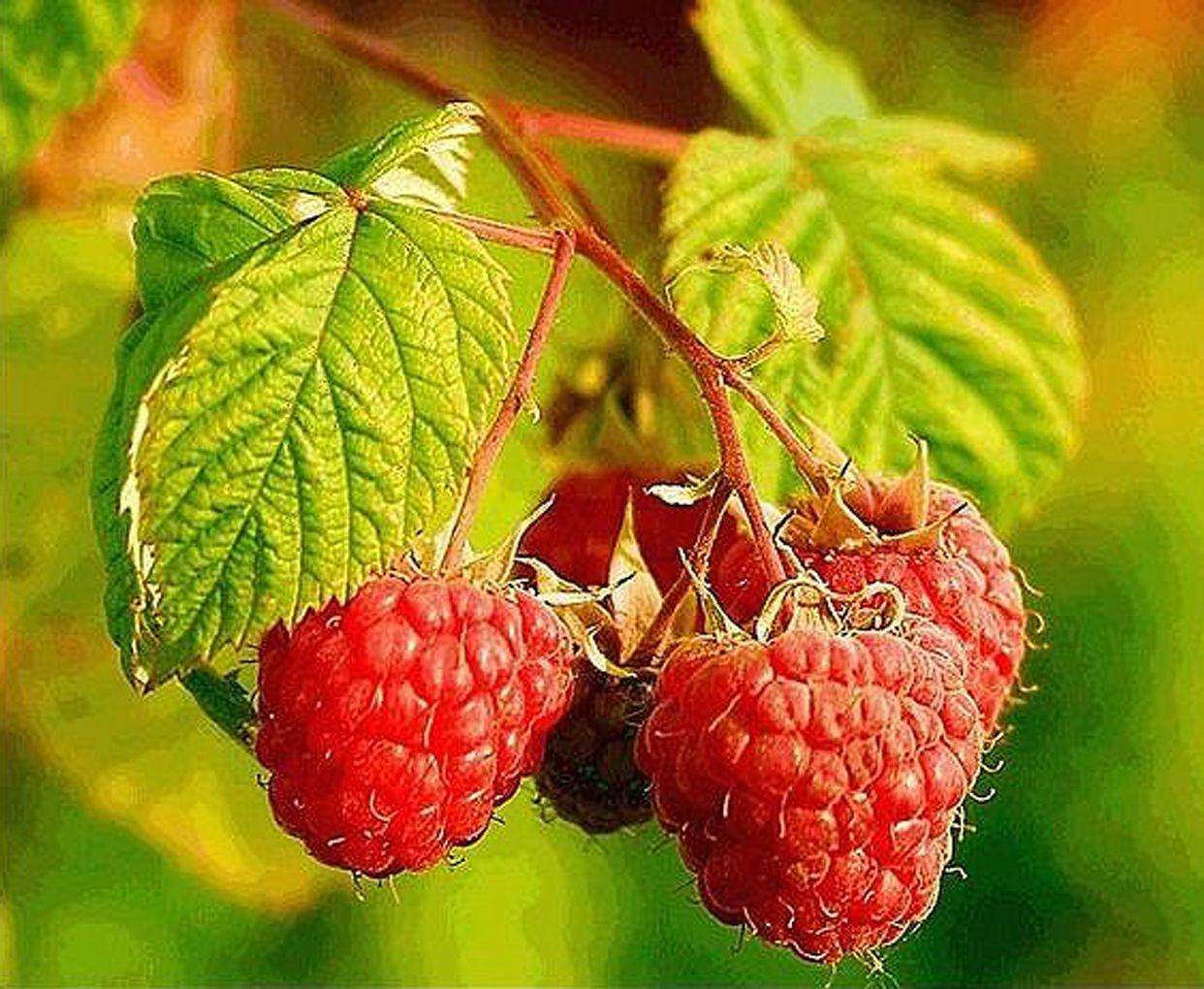 Rubus corchorifolius seed