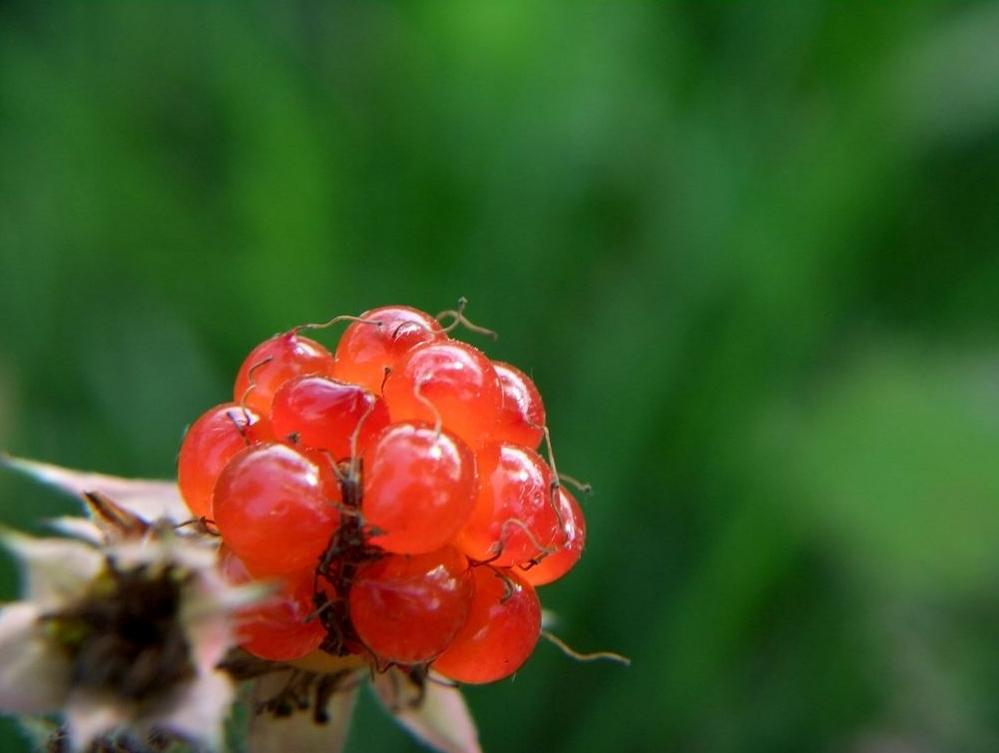 Rubus parvifolius seed