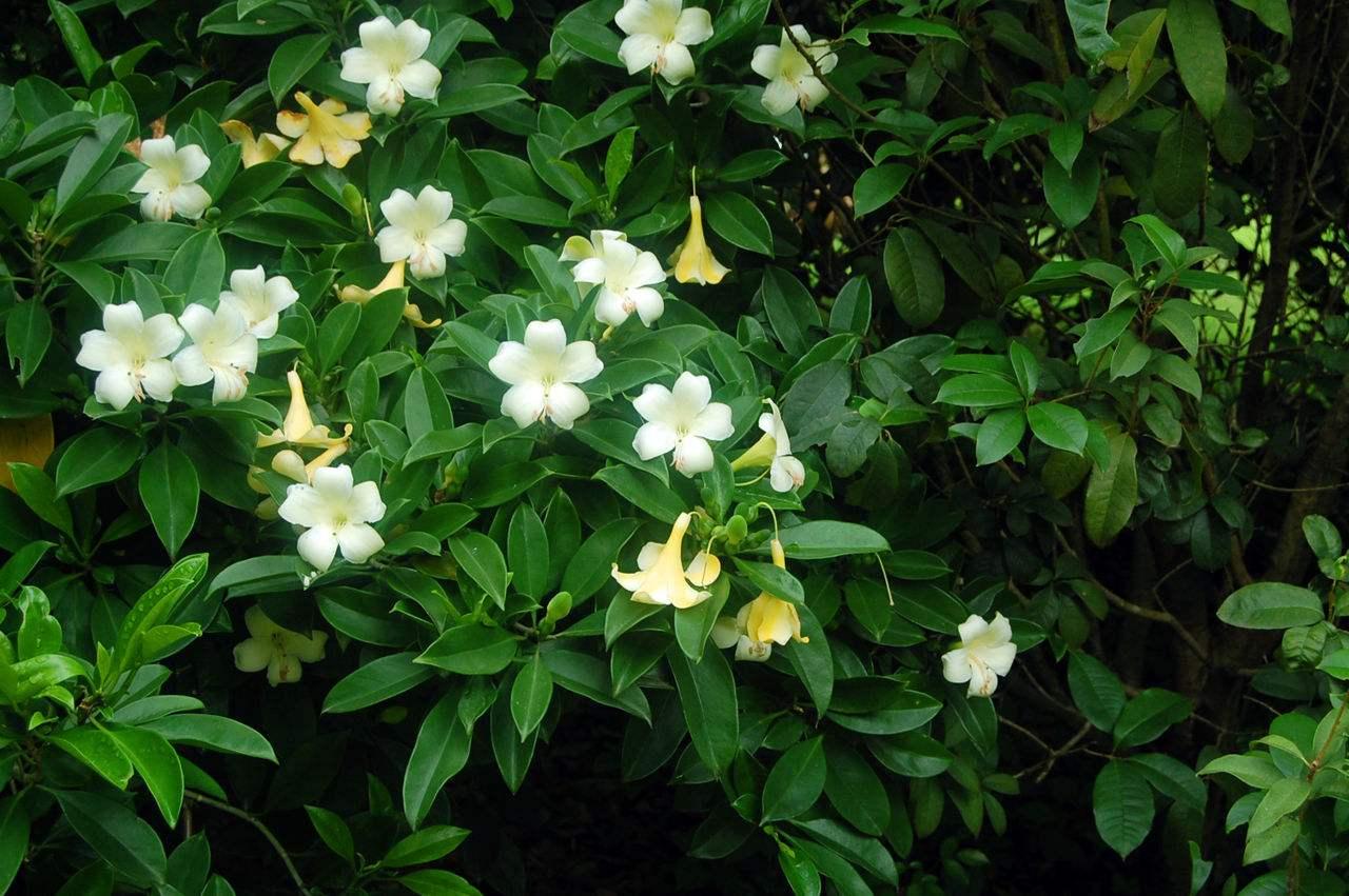 Stephanotis floribunda seed