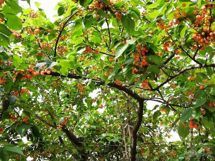 Cerasus szechuanica seed