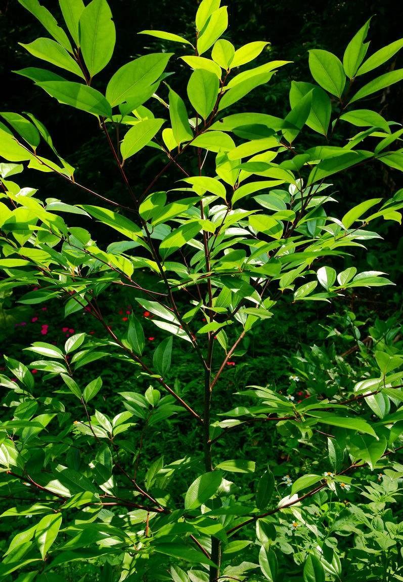 Cinnamomum wilsonii seed