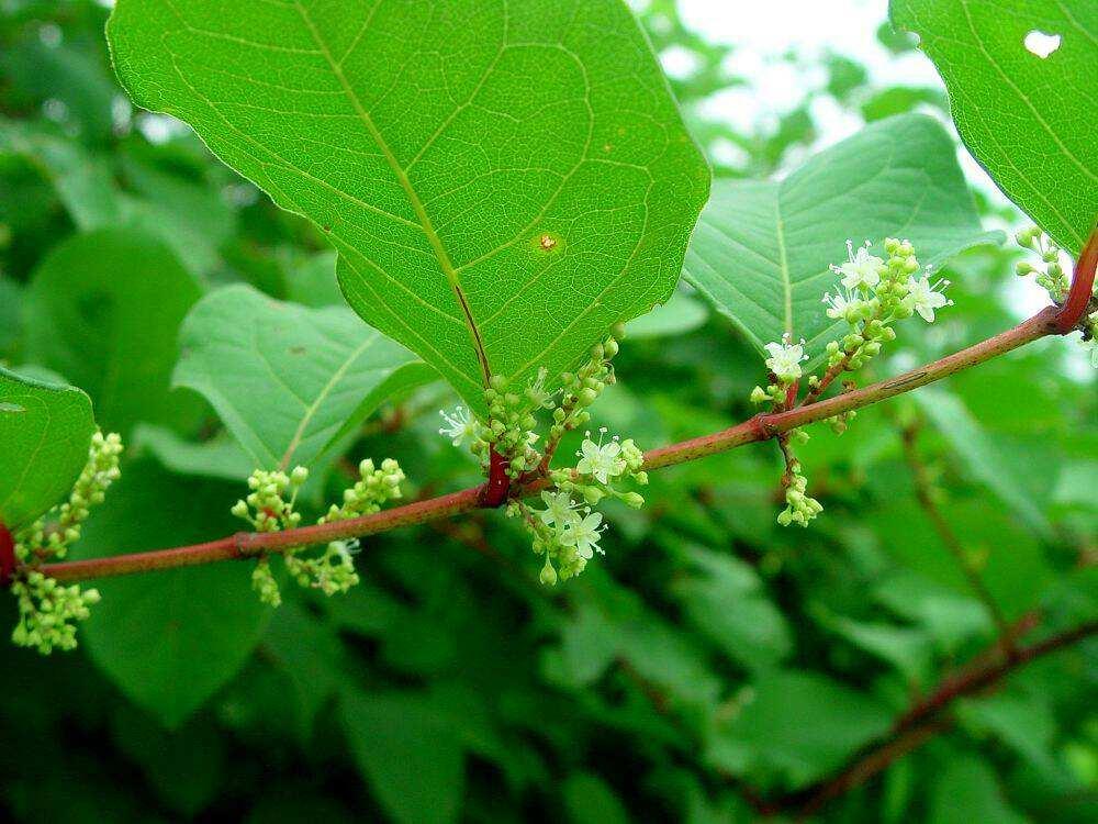 Reynoutria japonica seed