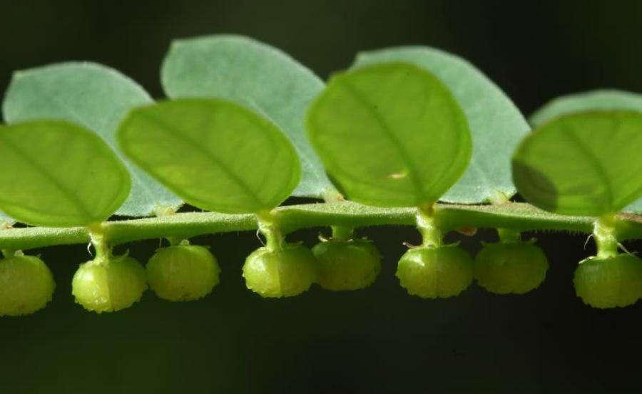Phyllanthus niruri seed