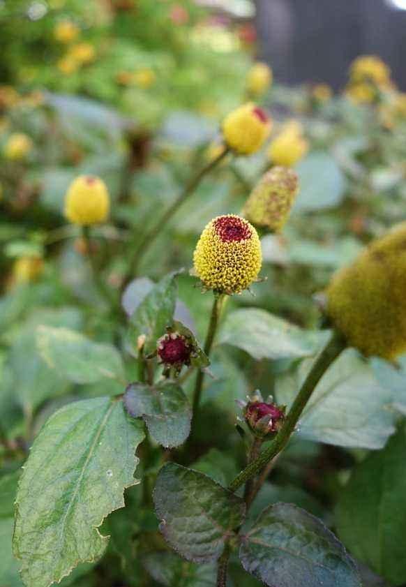 Acmella oleracea seed