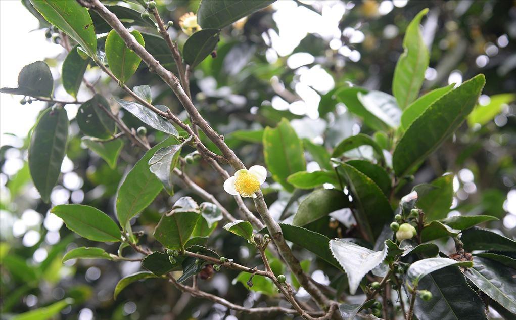 Camellia sinensis var. assamica seed