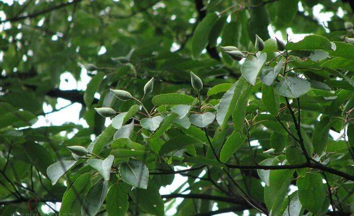 Carrierea calycina seed