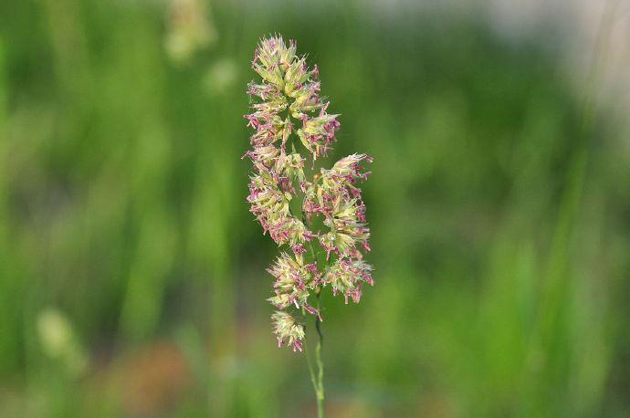Dactylis glomerata seed
