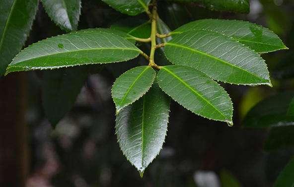 Ilex latifolia seed