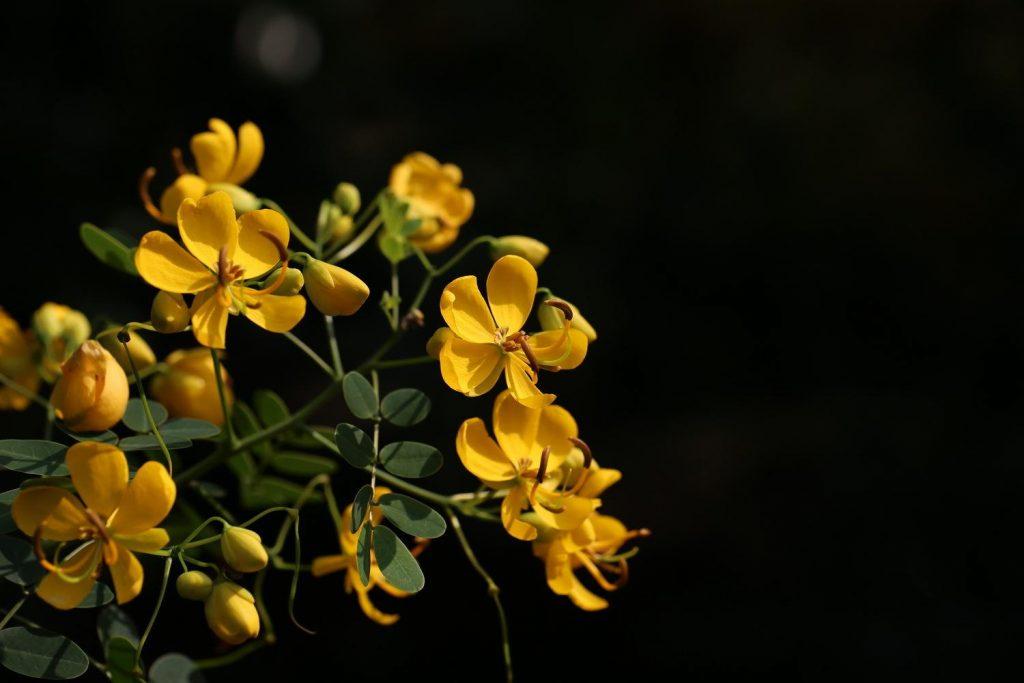 Senna surattensis seed