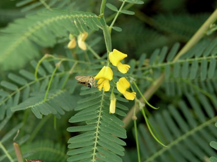 Sesbania cannabina seed