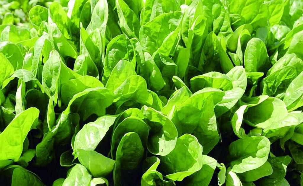 Spinacia oleracea seed