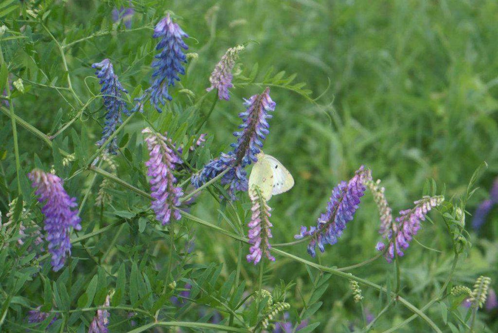 Vicia villosa seed