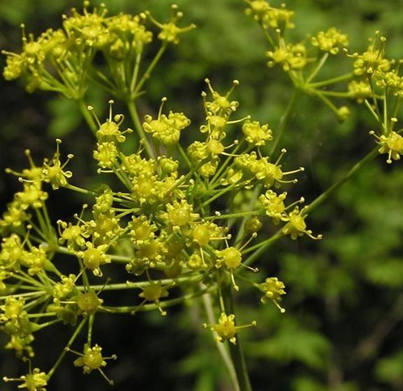 Asafoetida seed