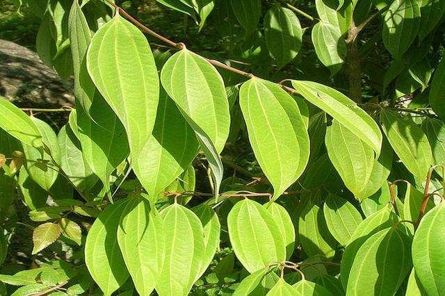 Cinnamomum verum seed