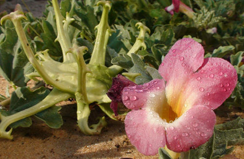 Harpagophytum procumbens seed