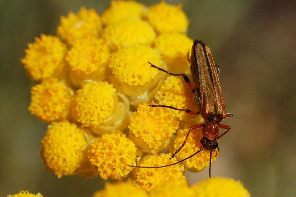 Helichrysum italicum seed