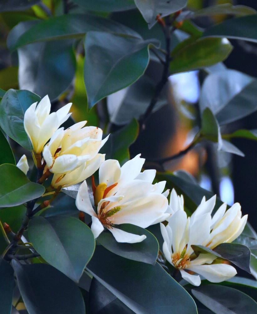 Magnolia macclurei seed