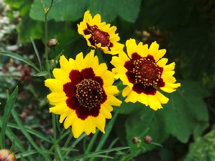 Plains coreopsis seed