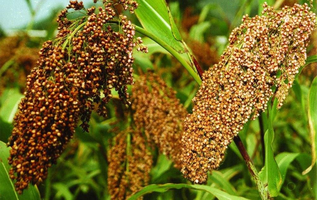 Sorghum bicolor seed