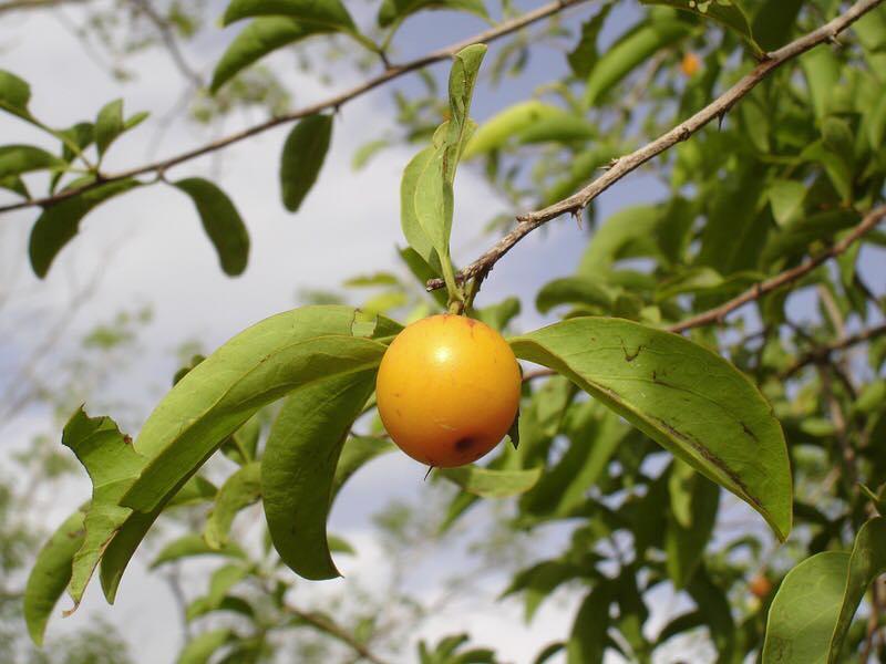 Ximenia americana seed
