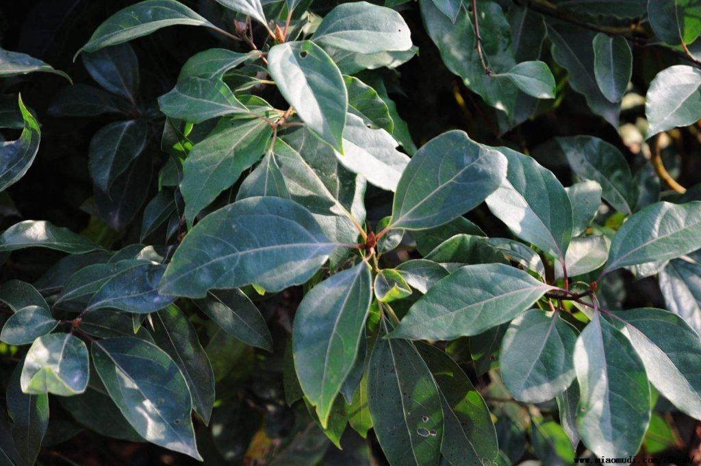 Cinnamomum micranthum seed