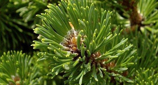 Abies durangensis seed