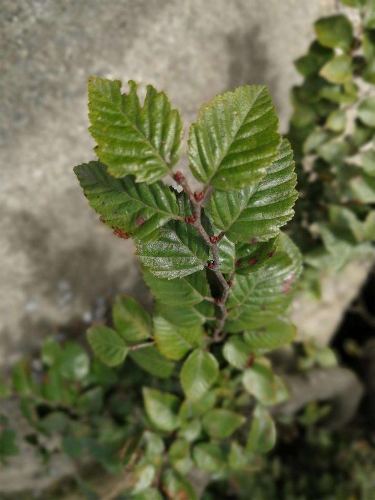 Betula luminifera seed