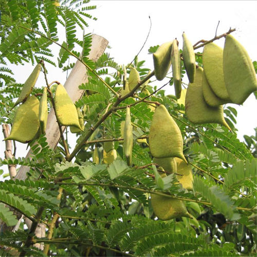 Caesalpinia sappan seed
