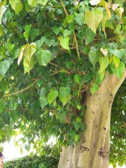 Ficus religiosa seed