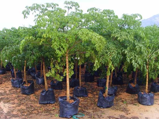 Heteropanax fragrans seed