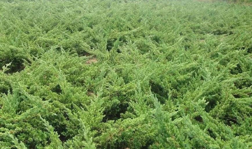 Juniperus Procumbens seed