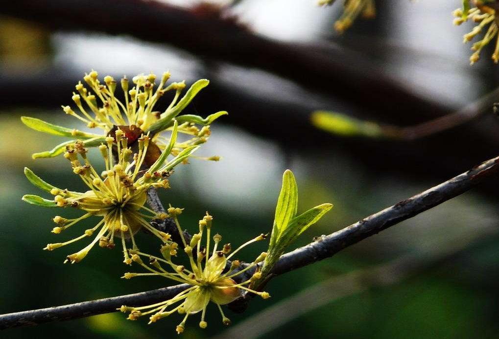 Cornus officinalis seed