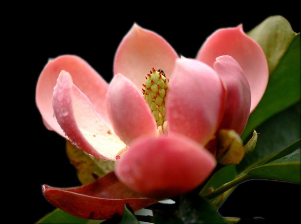 Magnolia insignis seed