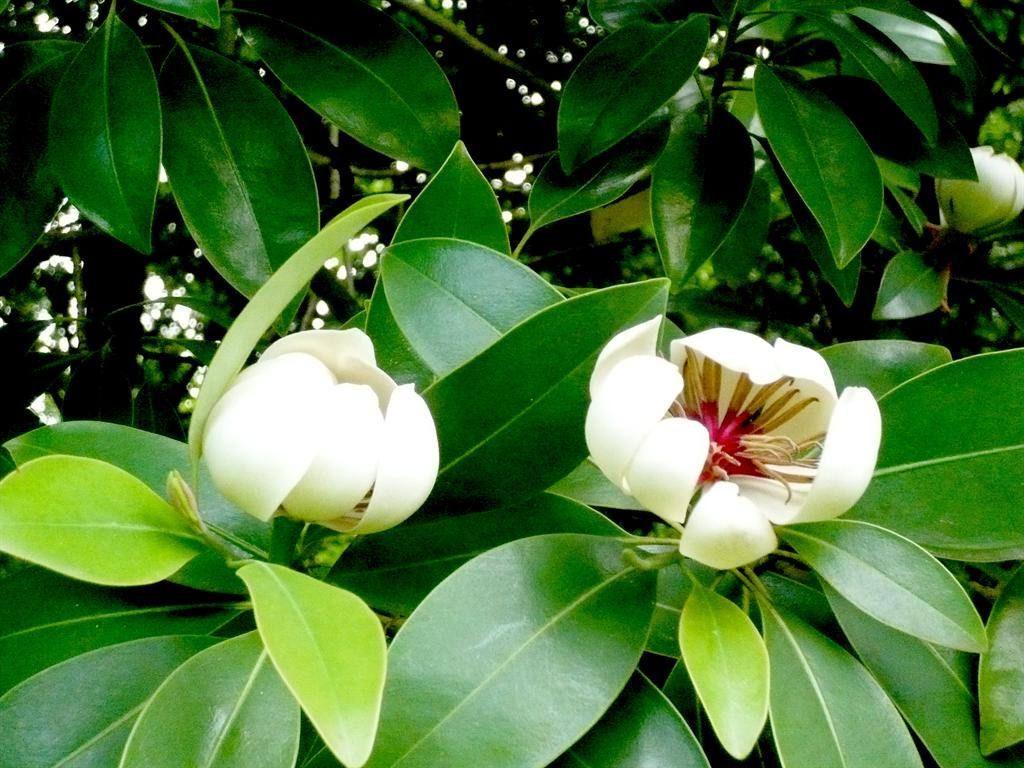 Magnolia yunnanensis seed