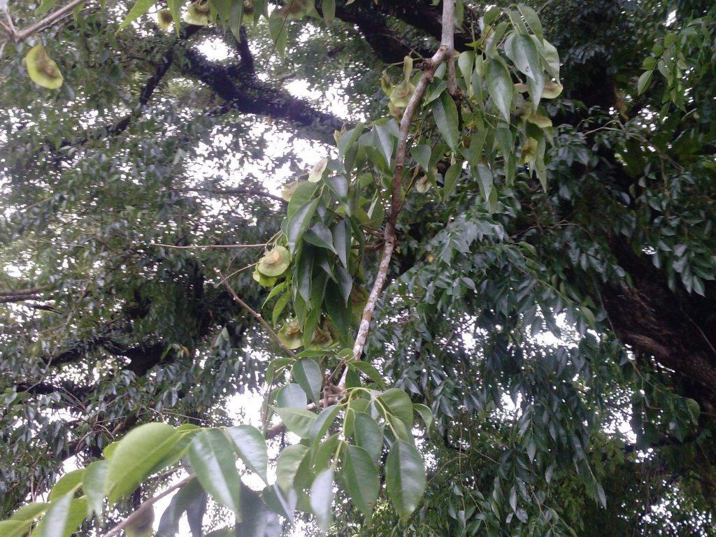 Pterocarpus indicus seed