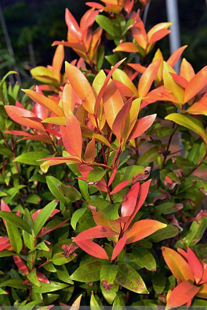 Syzygium rehderianum seed