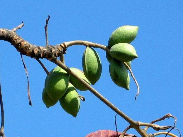 Terminalia catappa seed
