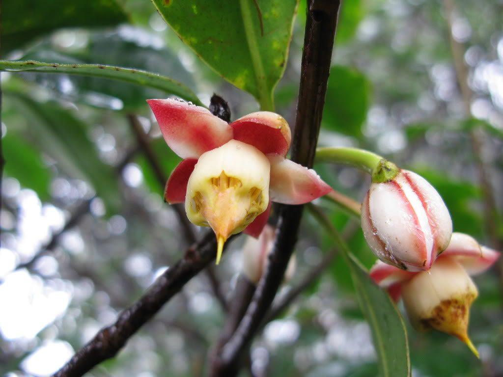 Anneslea fragrans seed