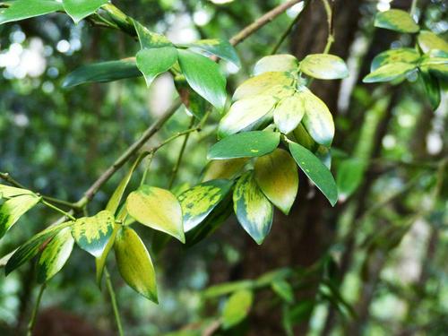 Agathis borneensis seed