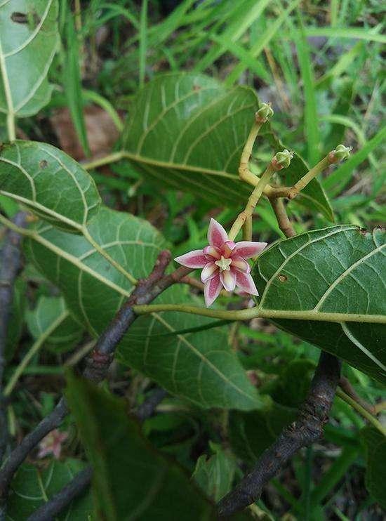 Craigia yunnanensis seed