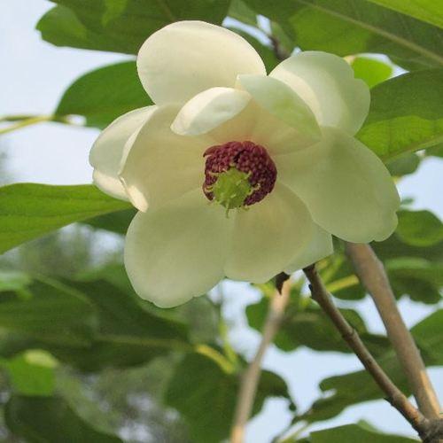 Magnolia Obovata seed