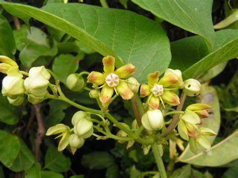 Mondia whitei seed